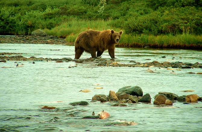 Very High Densities of Coastal Brown Bear on Katmai Fishing Rivers - ALASKA RAFT CONNECTION